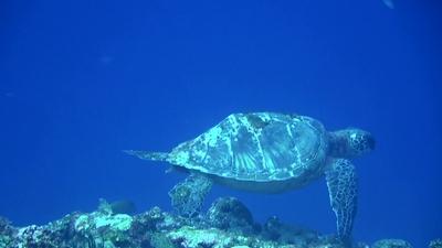 20110329-01甲羅が変形しているアオウミガメ