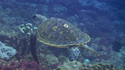 20110330-02フジツボ付きのアオウミガメ