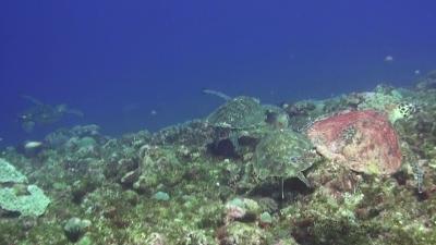 20110330-06タイマイと3匹のアオウミガメ