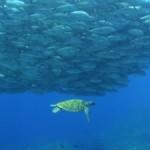ギンガメの大群と泳ぐアオウミガメ