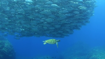 20110403-02ギンガメとアオウミガメ