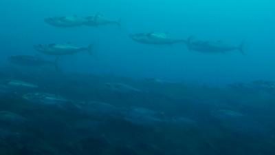 20110417-05イソマグロの群れ