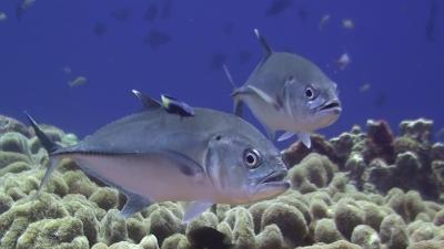 20110419-03クリーニングされるギンガメアジ