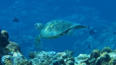 20110425-01アオウミガメ
