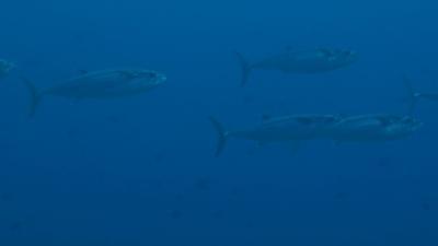 20110425-03イソマグロの群れ