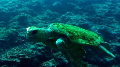 20110425-05アカウミガメ