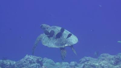 20110429-03アオウミガメ