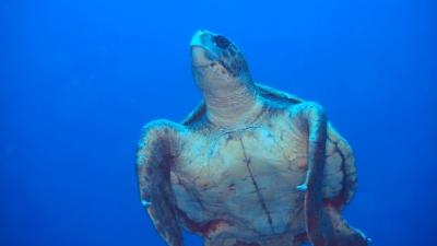 20110429-07アカウミガメ