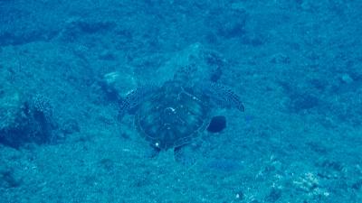 20110501-06アオウミガメ