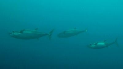 20110502-04イソマグロの群れ