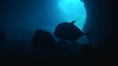 20110502-06巨大ロウニンアジ