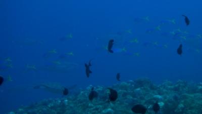 イソマグロとアオウミガメ