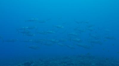 20110505-02イソマグロの大群