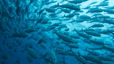 20110505-03ギンガメの大群