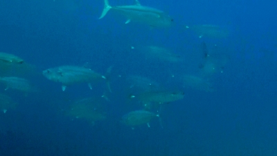 20110506-06イソマグロの群れ