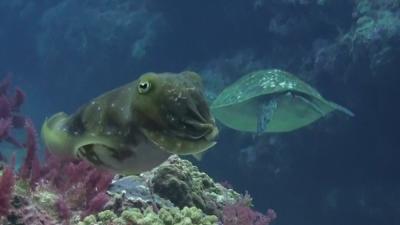 20110506-07コブシメとアオウミガメ