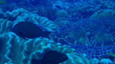 201110-03爆睡中のアオウミガメ使用前
