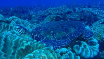 201110-04爆睡中のアオウミガメ使用後