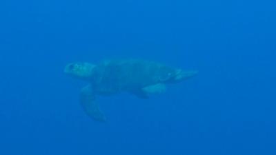 20120118-03アカウミガメ