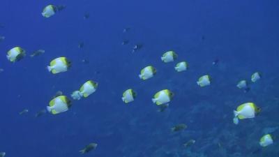 20120124-04カスミチョウチョウウオ