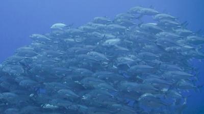 20120124-06ギンガメアジ
