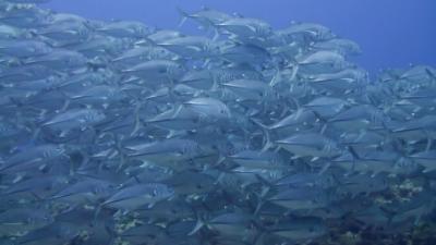 20120124-07ギンガメアジ