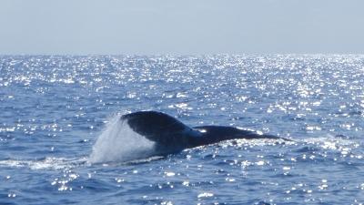 20120126-05ザトウクジラ