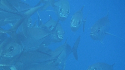 20120128-02ギンガメアジ