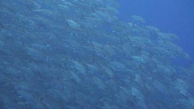 20120209-04ギンガメアジ