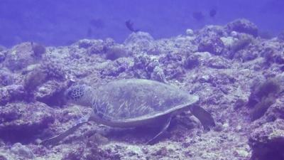 20120210-02アオウミガメ