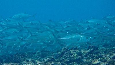 20120217-05ギンガメアジ
