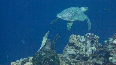 20120218-01タイマイとアオウミガメ