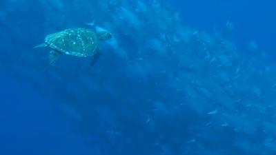20120218-05ウミガメとギンガメ