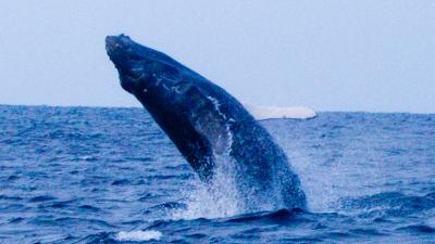20120221-0ザトウクジラのブリーチ