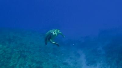 20120229-02アカウミガメ