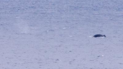 20230211-08ザトウクジラ