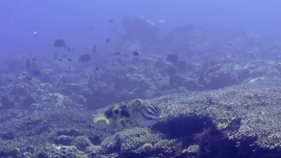 20120305-04コブシメとダイバー