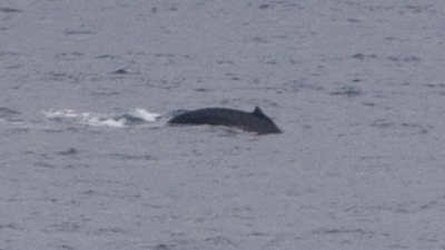 20120308-02ザトウクジラ