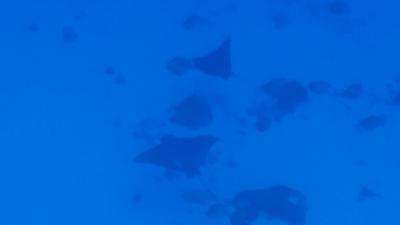 20120308-04マダラトビエイ