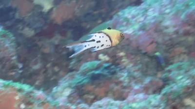 20120310-03ヒオドシベラ幼魚