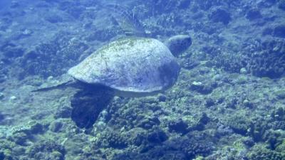 20120311-05アオウミガメ