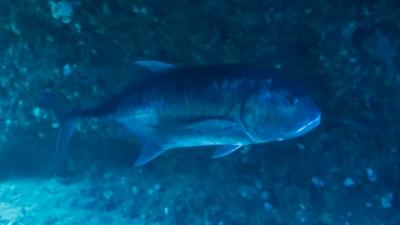 20120311-06巨大ロウニンアジ