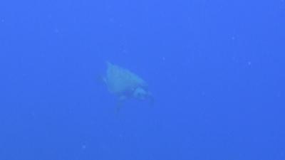 20120318-07アカウミガメ