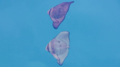 20120320-04ナンヨウツバメウオ幼魚