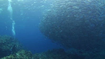 20120321-04ギンガメとロウニンアジ