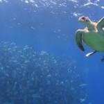 ギンガメとウミガメの共演