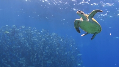 20120323-01ギンガメアジとアオウミガメ