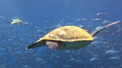20120323-02銀ちゃんとライバルのアオウミガメ