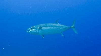 20120324-03ギンガメを狙うイソマグロ