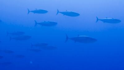20120326-06イソマグロの大群